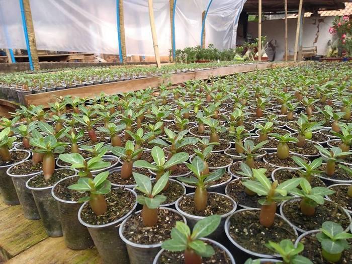 Дружные всходы из семян Leo в Бразилии