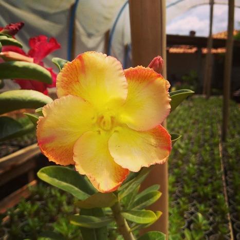 В хороших условиях подобное цветение можно получить через 1-1,5 года