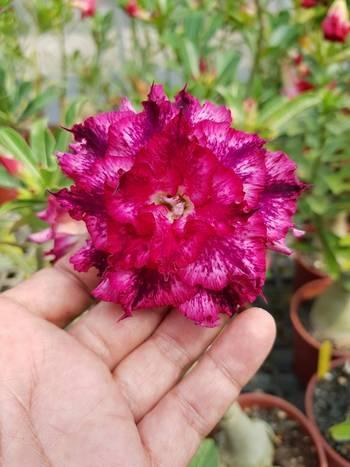 Даже однорядный цветок из семян Brahma Garden получился шедевром селекции