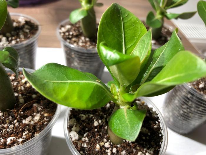 Стрижка листьев у видовых адениумов