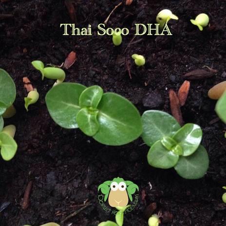 По этим сеянцам не сразу понятно, что они DHA, первые две пары листьев растут медленно