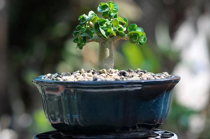 Этому растению сорта DHA CDP полтора года — очень медленный рост