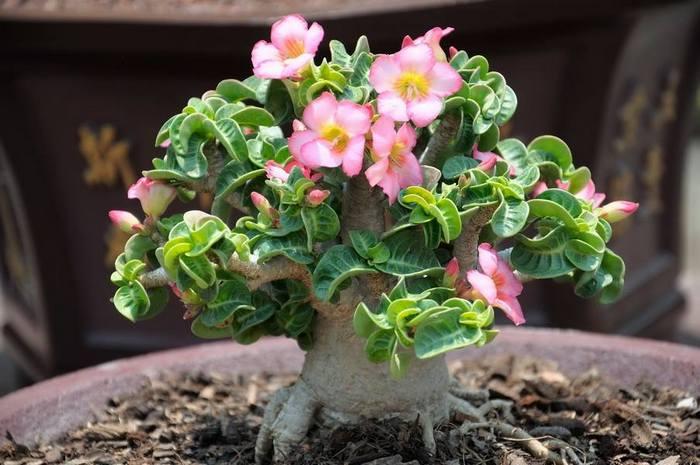 Цветы у этих сортов DHA простые розовые, с небольшим диаметром