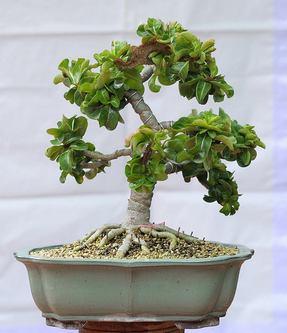 Хоть растение и выращено из семян, но кристатность скорее мутация в результате обрезок