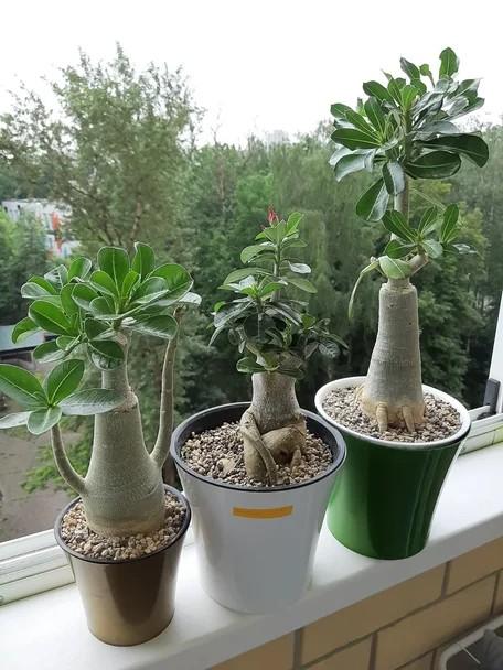 Выращивание адениумов в Lechuza Pon