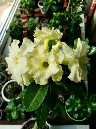 Выращивание адениумов из семени до цветения