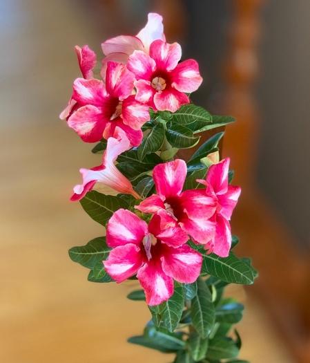 Почему не цветет адениум