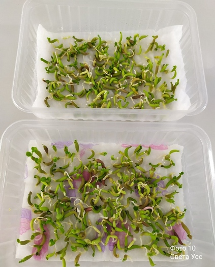 Проращивание семян адениумов на салфетках