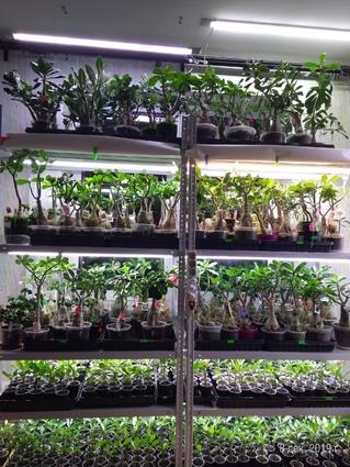 Выращивание адениумов в торфогрунте