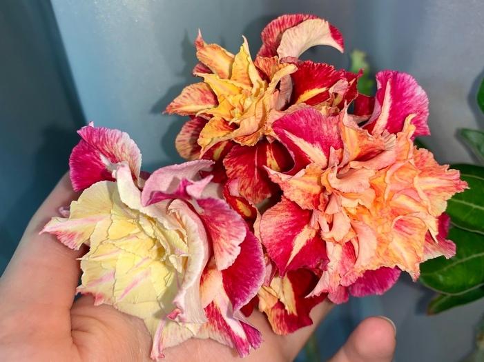 Все о цветении адениумов