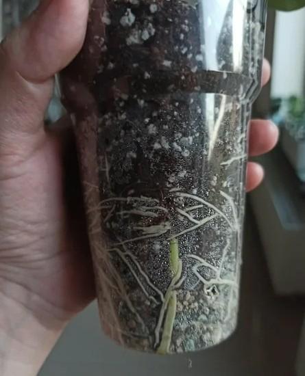 Укоренение черенков адениума в воде