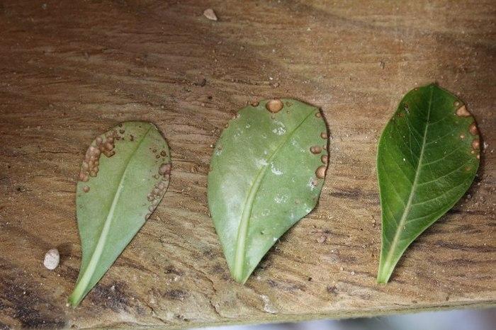 Грибковое поражение листьев