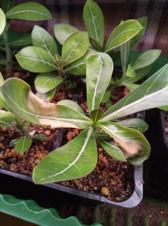 Характерное изменение листьев при избыточном внесение подкормки