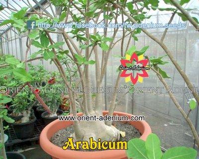 Arabicum