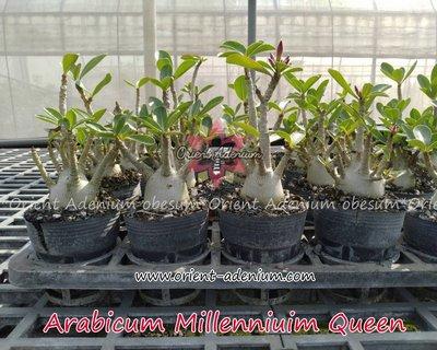 Arabicum Millennium Queen
