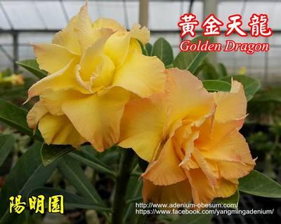 Aurora (Golden Dragon)