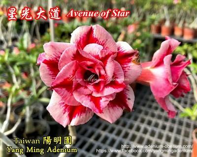 Avenue of Star (Star Avenue)