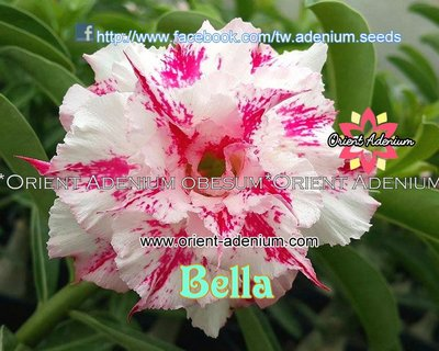 Bella (Flower Beauty)