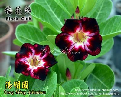 Black Club (Blackened Plum)