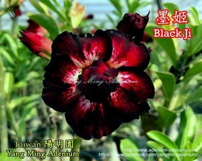 Black Ji (Murphy)