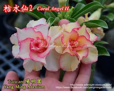 Coral Angel II (Orange Daffodil)