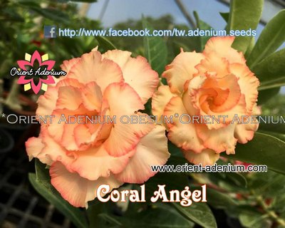 Coral Angel (Orange Narcissus)