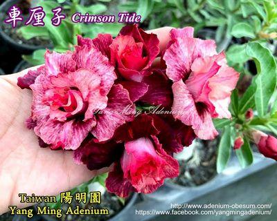 Crimson Tide (Cherry)