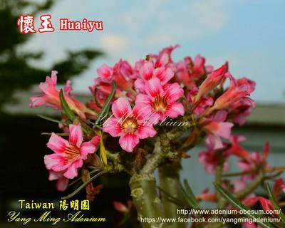 Crispum Holy Jade (Huaiyu)