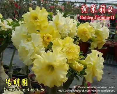 Golden Jasmine II