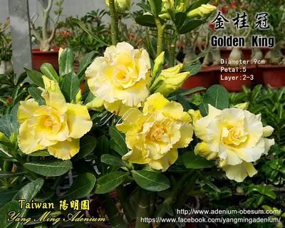 Golden King (Golden Laurel)
