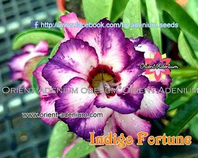 Indigo Fortune