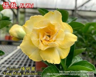 Ji Zhi (Ultimate Yellow)