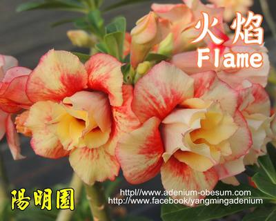 Lady Flame (Flame)