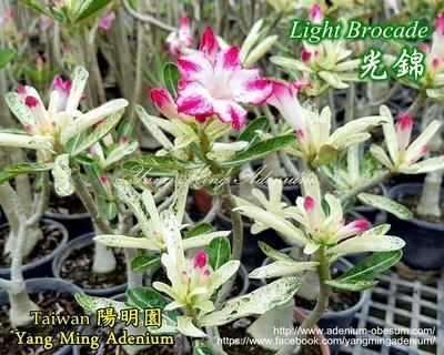 Light Brocade (Variegated)