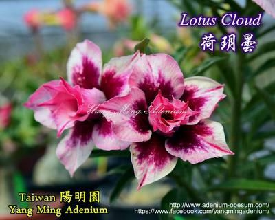 Lotus Cloud (Blue Lily)