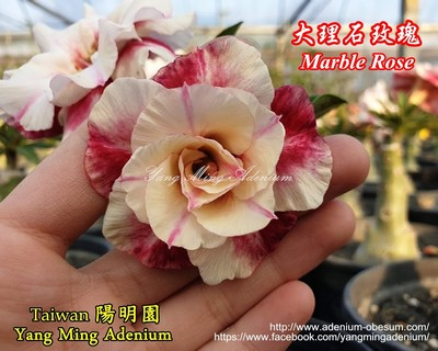 Marble Rose