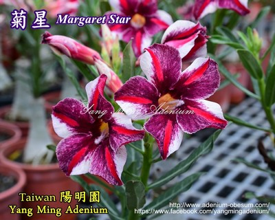Margaret Star (Chrysanthemum Star)