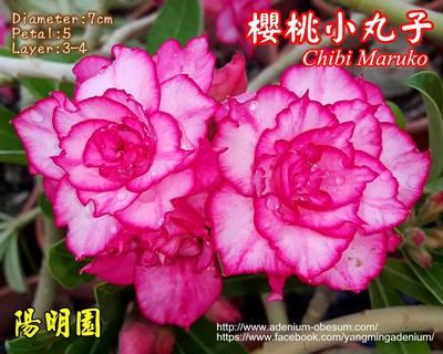 Maruko (Chibi Maruko)