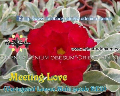 Meet The Love Variegated (Meeting Love)