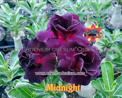 Midnight (Angel of Night)