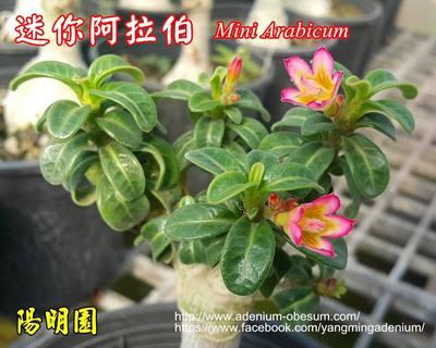 Mini Arabicum