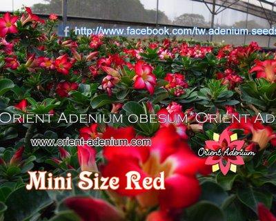 Mini Size Red