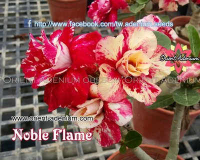 Noble Flame