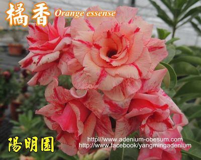 Orange Essence