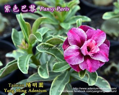 Pansy Paris (Variegated)