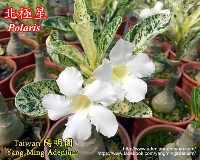 Polaris Variegated (Mutant Leaf)
