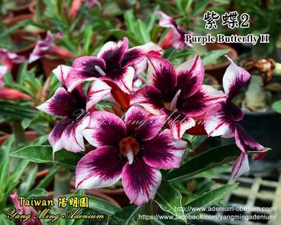 Purple Butterfly II