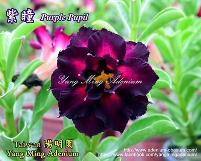 Purple Pupil (Purple Eyes)