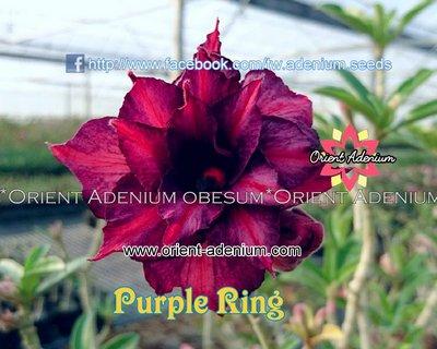 Purple Ring (Purple Velvet)