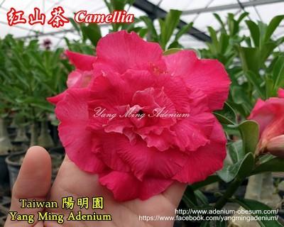 Red Camellia (Camellia)